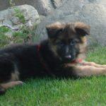 Do German Shepherds Shed? (German Shepherd Shedding Guide)
