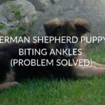 German Shepherd Puppy Biting Ankles (Problem Solved)