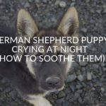 German Shepherd Puppy Crying At Night