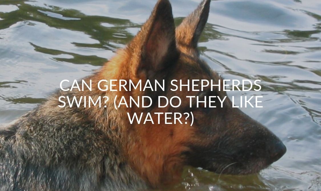 Can German Shepherds Swim_ (And Do They Like Water_)
