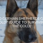 Do German Shepherds Get Cold? (Guide To Surviving The Cold)