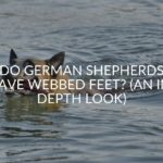Do German Shepherds Have Webbed Feet_ (An In-depth Look)