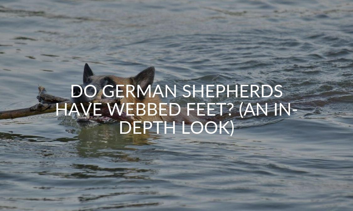 Do German Shepherds Have Webbed Feet_ (An In-depth Look)