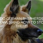 Do German Shepherds Howl_ (And How To Stop Them!)