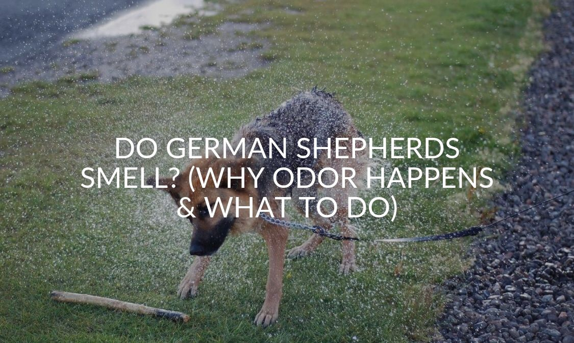 Do German Shepherds Smell_ (Why Odor Happens & What To Do)