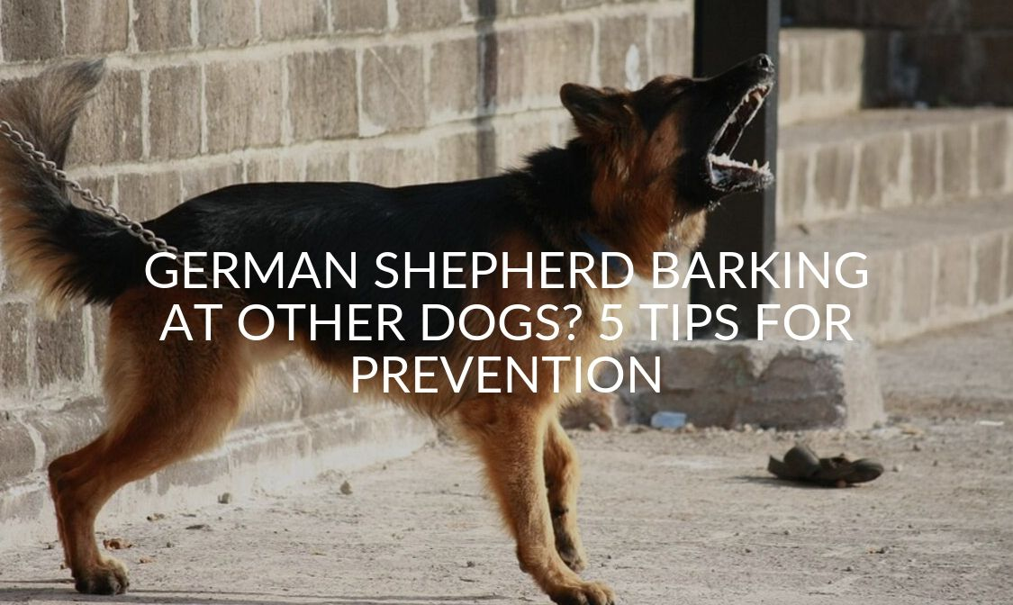 German Shepherd Barking At Other Dogs_ 5 Tips For Prevention