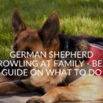 German Shepherd Growling At Family - Best Guide On What To Do