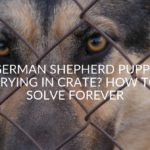 German Shepherd Puppy Crying In Crate? How To Solve Forever