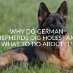 Why Do German Shepherds Dig Holes? And What To Do About it!