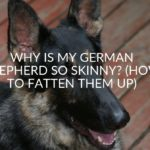 Why Is My German Shepherd So Skinny? (& How To Fatten Them Up)