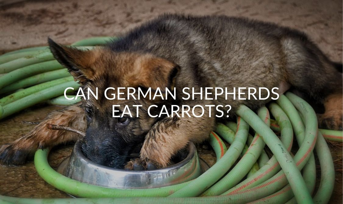 Can German Shepherds Eat Carrots_
