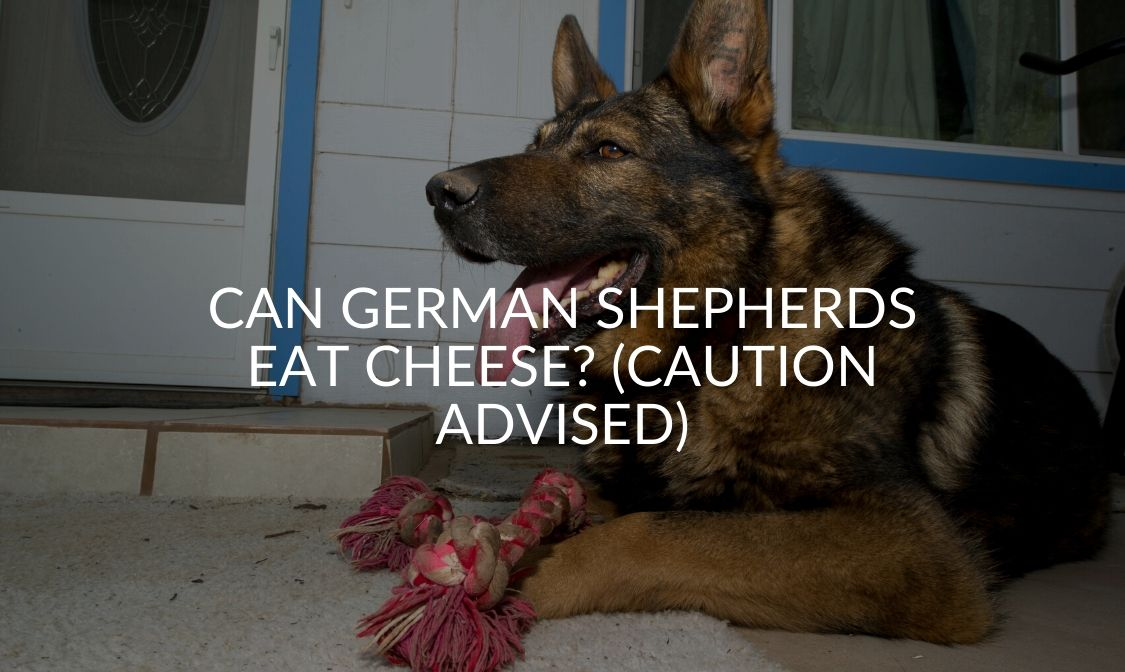 Can German Shepherds Eat Cheese_ (Caution Advised)