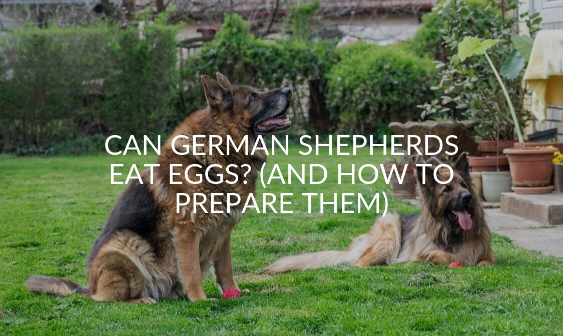 Can German Shepherds Eat Eggs_ (And How To Prepare Them)