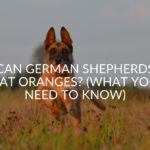 Can German Shepherds Eat Oranges? (What You Need To Know)