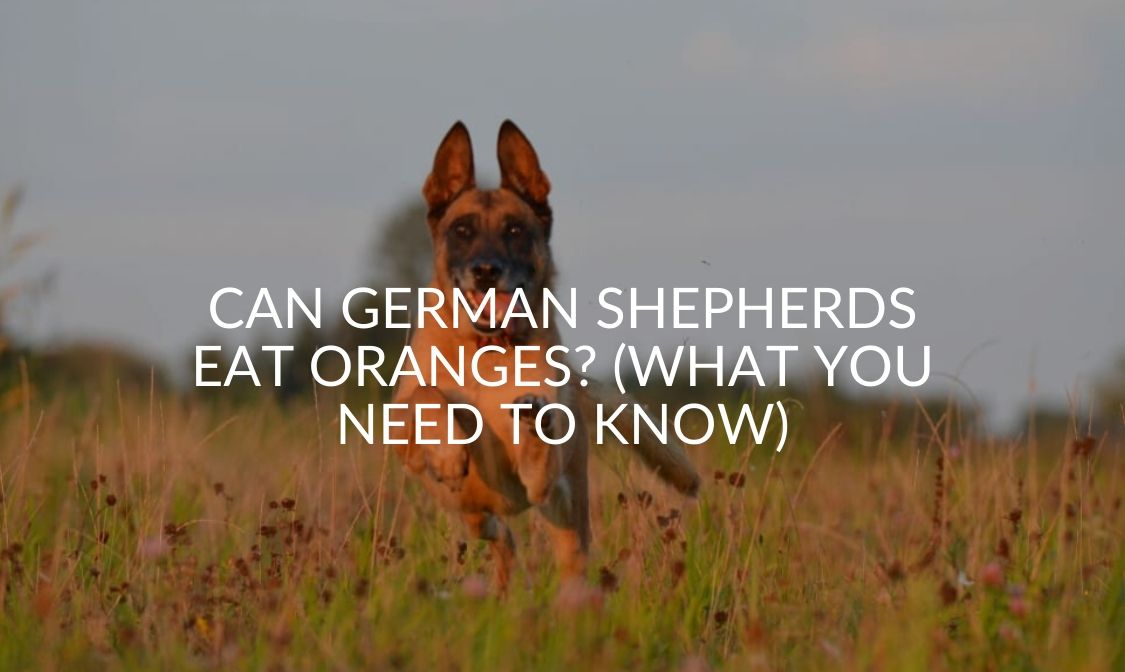 Can German Shepherds Eat Oranges_ (What You Need To Know)