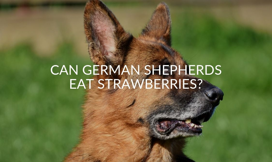 Can German Shepherds Eat Strawberries_