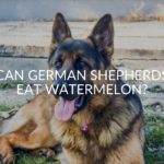 Can German Shepherds Eat Watermelon?