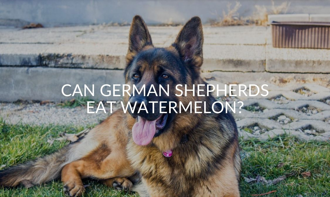 Can German Shepherds Eat Watermelon_