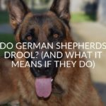 Do German Shepherds Drool? (And What It Means If They Do)