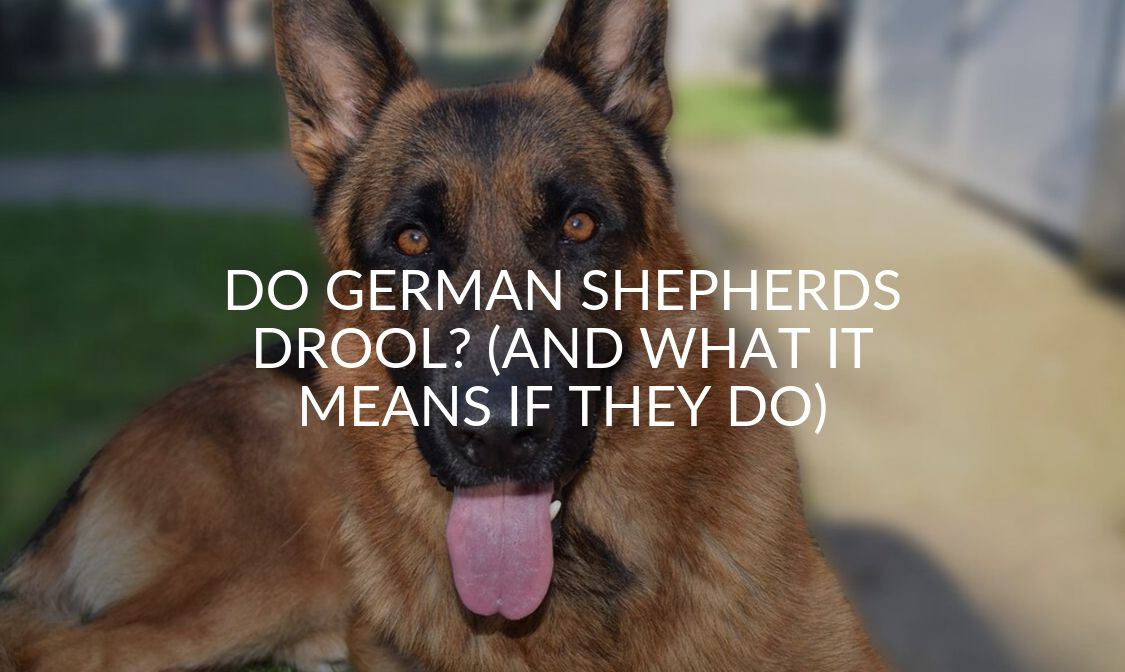 Do German Shepherds Drool_ (And What It Means If They Do)