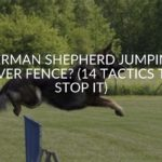 German Shepherd Jumping Over Fence? (14 Tactics To Stop It)