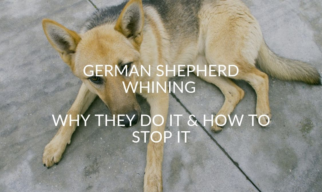 German Shepherd Whining - Why They Do It & How To Stop It