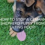 How To Stop A German Shepherd Puppy From Eating Poop!