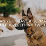 Can You Shave A German Shepherd? (Think Twice!)