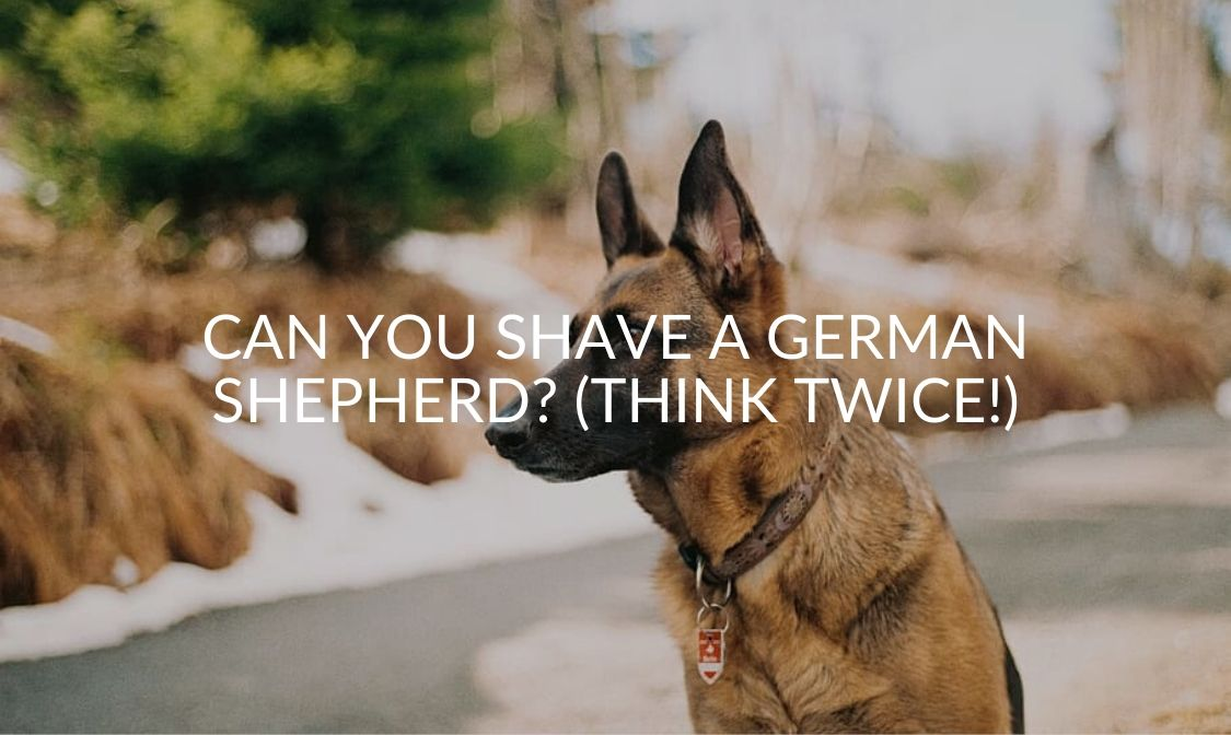 Can You Shave A German Shepherd_ (Think Twice!)