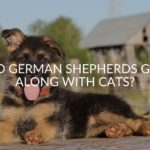 Do German Shepherds Get Along With Cats_