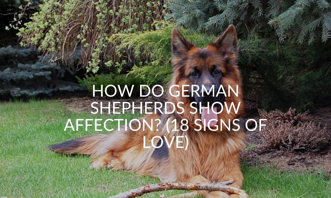 How Do German Shepherds Show Affection_ (18 Signs Of Love)