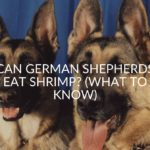 Can German Shepherds Eat Shrimp? (What To Know)