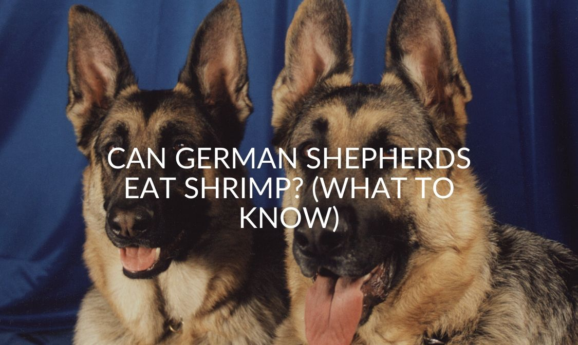 Can German Shepherds Eat Shrimp_ (What To Know)