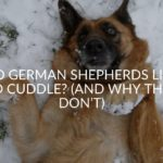 Do German Shepherds Like To Cuddle_ (And Why They Don't)