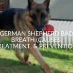German Shepherd Bad Breath (Causes, Treatment, & Prevention)