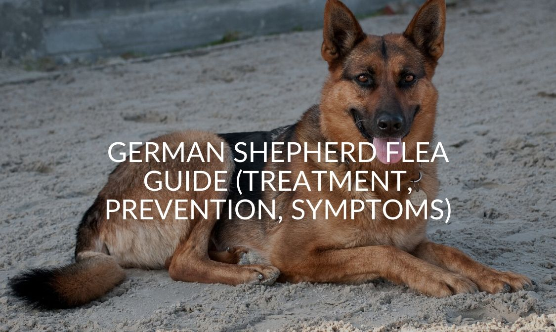 German Shepherd Flea Guide (Treatment, Prevention, Symptoms)