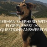 German Shepherd With Floppy Ears_ (All Questions Answered!)