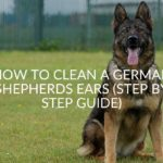 How To Clean A German Shepherds Ears (Step By Step Guide)