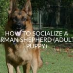 How To Socialize A German Shepherd (Adult & Puppy)