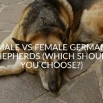 Male Vs Female German Shepherds (Which Should You Choose_)