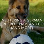 Neutering A German Shepherd – Pros And Cons (And More)