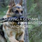 Spaying A German Shepherd – Pros And Cons (And More)