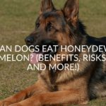 Can Dogs Eat Honeydew Melon_ (Benefits, Risks, And More!)