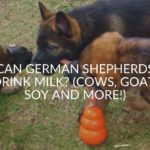 Can German Shepherds Drink Milk_ (Cows, Goat, Soy And More!)