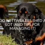 Do Rottweilers Shed A Lot? (And Tips For Managing It)