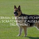 German Shepherd Itching & Scratching? (Causes & Treatment)
