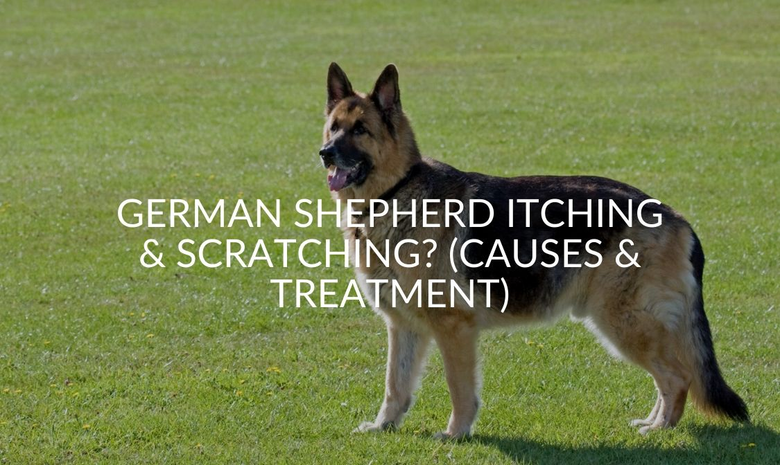 German Shepherd Itching & Scratching_ (Causes & Treatment)