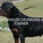 Rottweiler Growling At Owner