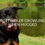 Rottweiler Growling When Hugged (Does It Mean They Hate You?)