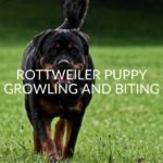 Rottweiler Puppy Growling And Biting